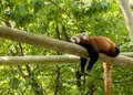 Red panda bear resting on a log, looking depressed and tired. Green forest in the background. Royalty Free Stock Photo