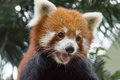 Red panda bear on tree Royalty Free Stock Photo