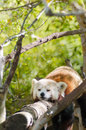 Red panda a beautiful lying on a tree branch sleeping strethced out with its legs hanging dangling down the cat bear has a Royalty Free Stock Photo