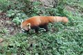 Red Panda , Chengdu China Royalty Free Stock Photo