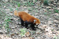Red panda in chengdu research base of giant breeding Stock Image