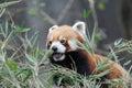 Red Panda in Darjeeling, India Royalty Free Stock Photo