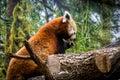 Red panda eating Royalty Free Stock Photo