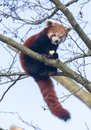 Red panda eating a apple Royalty Free Stock Photo