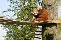 Red panda eating bamboo Royalty Free Stock Photo