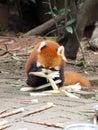 Red panda eating bamboo shoots Royalty Free Stock Photo