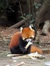 Red panda eating bamboo shots Royalty Free Stock Photo