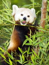 Red Panda Eats Regular Diet of Bamboo Shoots and Tree Branches Royalty Free Stock Photo