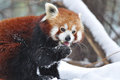 The red panda firefox or lesser ailurus fulgens shining cat Royalty Free Stock Photos