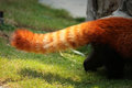 Red panda fluffy tail striped Royalty Free Stock Image