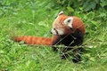 Red panda the in the grass Royalty Free Stock Images