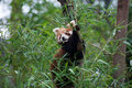 Red panda hiding on a tree behind the bamboo leaves Royalty Free Stock Photo