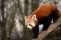 Red panda or lesser ailurus fulgens on a branch Royalty Free Stock Images