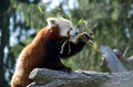 Red panda a munches on leaves as he climbs atop a tree branch Stock Image