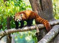 Red Panda In Nature