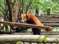 stock image of  Red panda playing