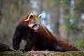 Red panda portrait on tree Royalty Free Stock Photo