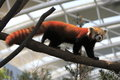 Red panda rare in forest Royalty Free Stock Photography