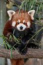 Red panda it is a rare small arboreal mammal from himalaya and china it feeds mainly on bamboo their numbers in the wild continue Stock Images