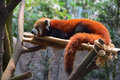 Red panda resting on man made bamboo support full view of it is a small arboreal mammal native to the eastern himalayas and south Royalty Free Stock Images