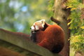 Red panda the resting on the wood Royalty Free Stock Image