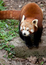 Red Panda running on the ground Royalty Free Stock Images