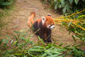 Red panda sitting in a zoo Royalty Free Stock Photography