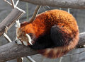 Red panda sleeping on a tree Royalty Free Stock Photo
