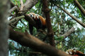 Red Panda sleeping Royalty Free Stock Photo