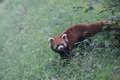 Red panda small in china Stock Photos