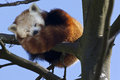Red Panda - Southern China Royalty Free Stock Photo