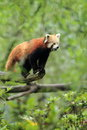 Red panda the standing on the tree Stock Image