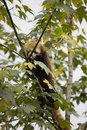 Red panda in tree Stock Photography