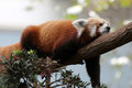 Red panda on tree close up image of resting Royalty Free Stock Images