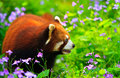 Red panda walking Stock Photos