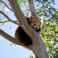 Red panda wild sitting in tree Stock Photos
