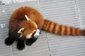 Red panda in the zoo Royalty Free Stock Photography