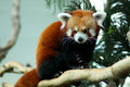 Red panda in zoo enclosure Royalty Free Stock Photo