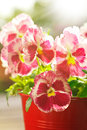 Red pansies flowers sun sunny Royalty Free Stock Photo