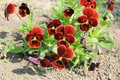 Red pansies (viola tricolor) Royalty Free Stock Photo