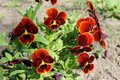 Red pansies viola tricolor Royalty Free Stock Photo