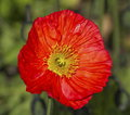 Red papaver flower Royalty Free Stock Photo
