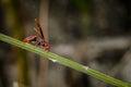 Red paper wasp hornet polistes carolina perplexus single closeup macro Royalty Free Stock Photo