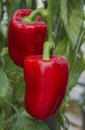 Red paprika growing in a agricultural farm. Royalty Free Stock Photo