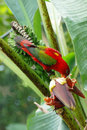 The red parrot Royalty Free Stock Image