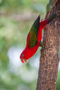 Red parrot beautiful bird on tree Royalty Free Stock Photo