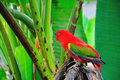Red parrot bird close up Royalty Free Stock Photography