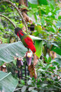 Red parrot bird close up Royalty Free Stock Images