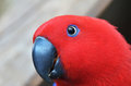 Red Parrot Close Up Look