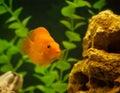 Red parrot fish in aquarium Royalty Free Stock Photo